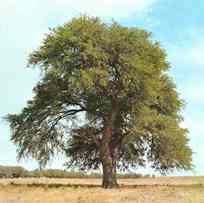 El Día del Árbol y el algarrobo
