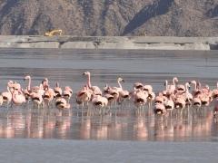 Flamencos rosados en el Dique de Relaves